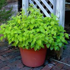 Chocolate Mint Bonnie Plants by Peppermint Herb Plants Edible Garden The Home Depot
