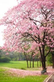tabebuia rosea bertol dc chompoo pantip la tree chompoo pantip