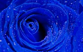 Blue Roses Blue Roses 6974847