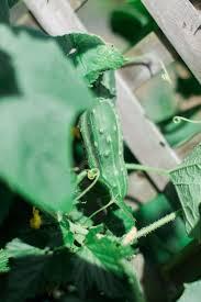 Cucumber Spacing On Trellis Growing Cucumbers Miracle Gro
