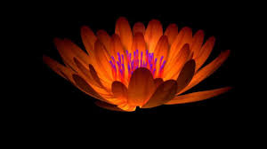 blooming flowers dynamic flower blooming animation with clip