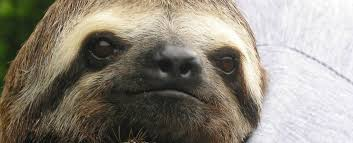 Angry Sloth Meme - watch why sloths almost die every time they have to poop