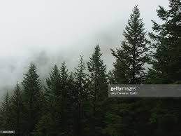 low angle view of pine trees in forest against cloudy sky stock