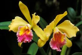 cattleya orchids yellow cattleya orchids photograph by greg vaughn