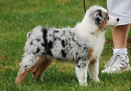 australian shepherd akc gottabe aussies the boys