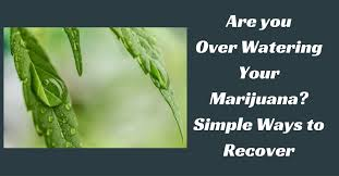 Recovering Cannabis Plants From High by Are You Over Watering Your Marijuana Simple Ways To Recover