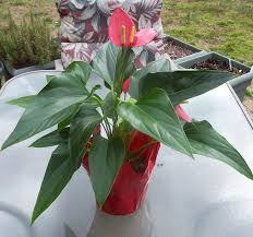 low light flowers flamingo flower anthurium tropical delight great indoor
