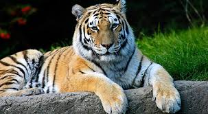 siberian tiger an endangered species