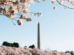 Cherry Blossom Tree Facts by Photos Of Cherry Blossoms Around The World Business Insider
