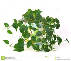 Plant For Bedroom Indoor Philodendron Plant Stock Photography Image 18300382