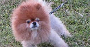 lion dogs trolls his dog with lion haircut