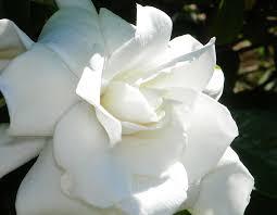 Gardenias by Houseplant Sos The Gardenias Are In Bloom