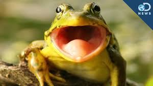 frog hears with its mouth youtube