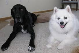 american eskimo dog lab mix training an anxious dog too quickly thatmutt com a dog blog