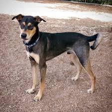 bluetick coonhound basset hound mix doberman pinscher mix
