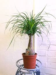 1popular evergreen indoor house plant pot office home