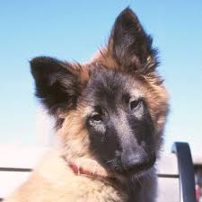belgian sheepdog 101 50 cute puppies you u0027ll have to see to believe belgian tervuren