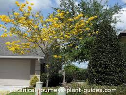 the most popular tabebuia tree in florida caraiba aurea argentea