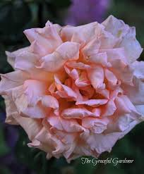 the graceful gardener may gbbd is coming up roses u2026in my garden