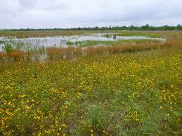 native wetland plants wetland plants watershed texas