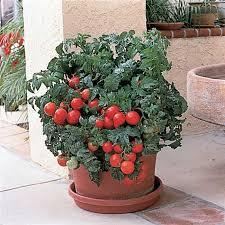patio hybrid tomato totally tomato
