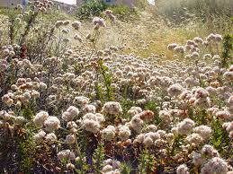california native plant garden mother nature u0027s backyard a water wise garden plant of the month