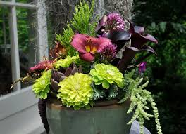 Calla Lillies Growing With Plants Black Calla Lilies And Green Zinnia U0027s