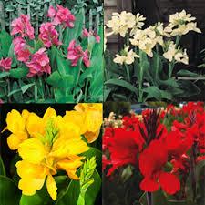Canna Lilies Canna Lily Dwarf Collection Garden Express