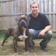 american pitbull terrier kennels in michigan american pit bull terrier breeders in michigan freedoglistings