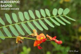 fl native plants bladderpod bagpod sesbania vesicaria what florida native