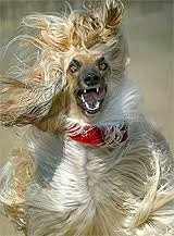 afghan hound underwater prune head a pictorial tale of the afghan hound tribe