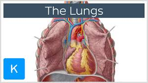 Gross Anatomy Of The Human Heart Lungs Definition Anatomy And Location Human Anatomy Kenhub