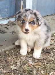 australian shepherd female names australian shepherd puppy named pepper omg so adorable