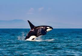 Washington wildlife tours images Spirit of orca whale watching wildlife tours san juan islands jpg