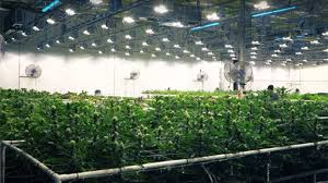 46 tips for better cultivation cannabis business times