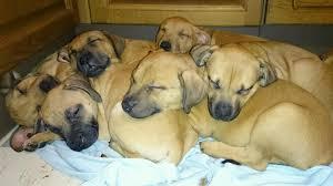 belgian shepherd x staffy bullmastiff cross staffy size info weight u0026 puppies for sale