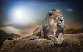 animals mammal lion wildlife cat nature lions jungle hdr hd