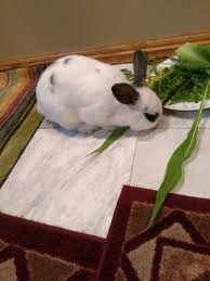 necco another dumped pet bunny rescued outdoors bunnymama