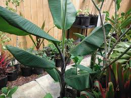native plant nurseries melbourne what u0027s in stock u2013 current tropical plants photos exotica