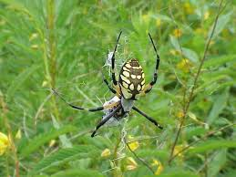 free picture black yellow garden spider