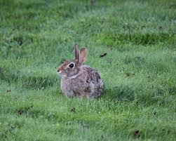 Garden Pests Identification - rabbits how to identify and get rid of rabbits garden pest