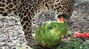 big cats eating u0026 swatting around watermelons