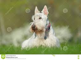 wheaten scottish terrier stock photo image 42836652