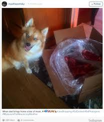 fox dog pomeranian husky theberry