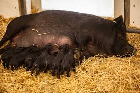 Lincoln Park Zoo Light Hours by Piglets Born To American Guinea Hog At Lincoln Park Zoo Chicago