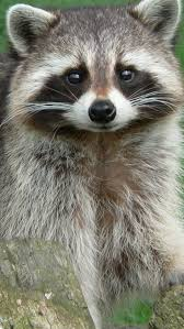 42 best raccoon pictures images on pinterest wild animals