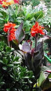 Canna Lilies Cannas Canna Lilies Really Brightens A Sunny Patio Or Porch