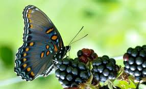 how to bring back butterflies vineyards sustainable modern