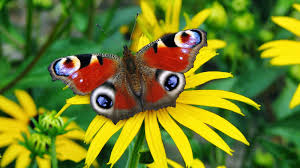 butterfly wallpapers page 4