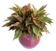 Easy To Care For Indoor Plants Red Aglaonema New Houseplant That Is Easy To Care For And Is